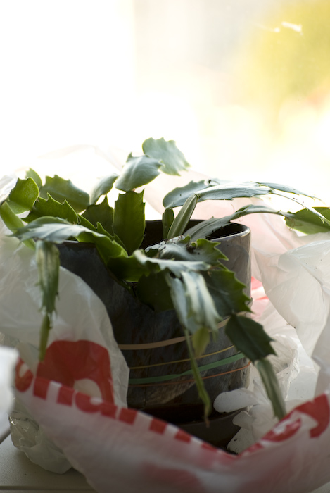 a christmas cactus in a pot and plastic bag