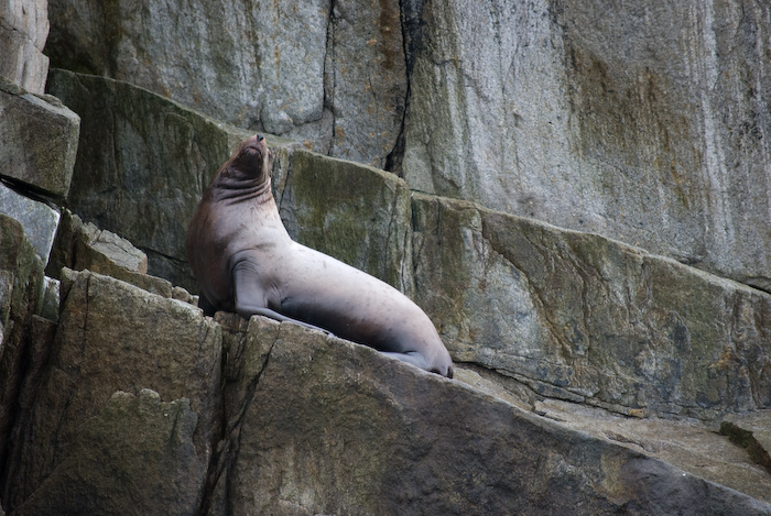 sea lion, noise in air