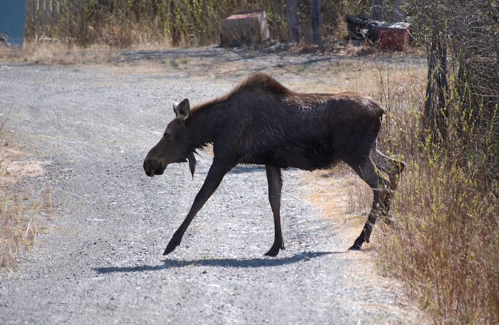 moose stepping across road