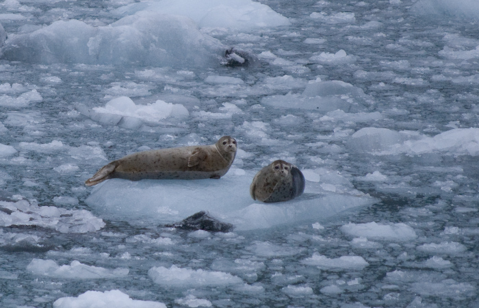 harbor seal pair on ice