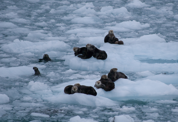 sea otter cluster on ice