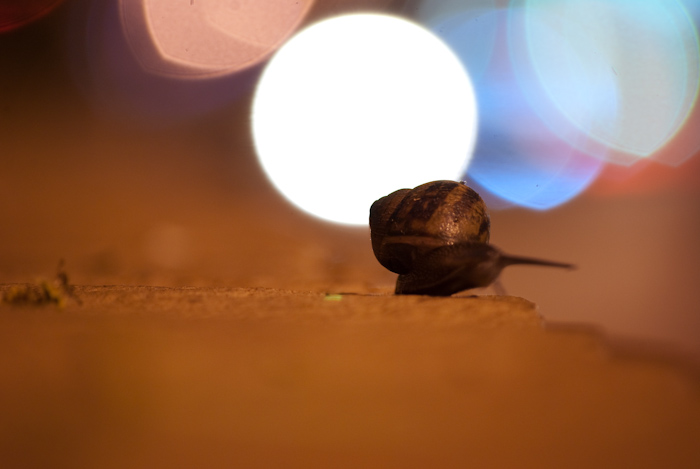 snail backlit by defocused traffic lights, anterior raised