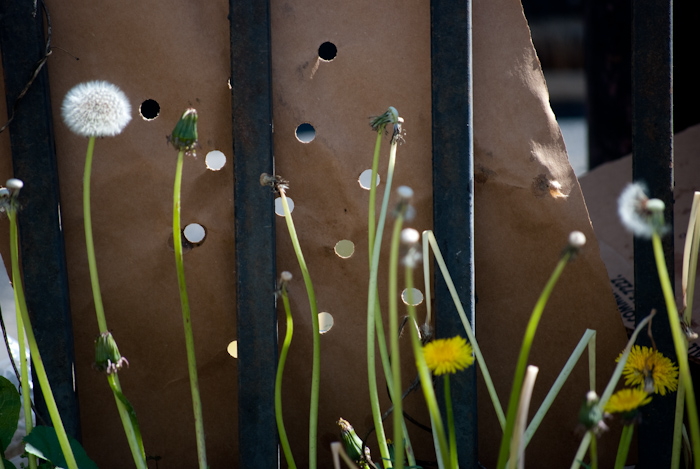 dandelions in front of fence and cardboard with holes