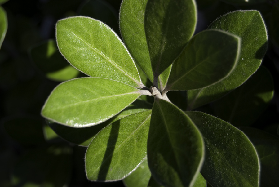 green sunlit shrub leaves