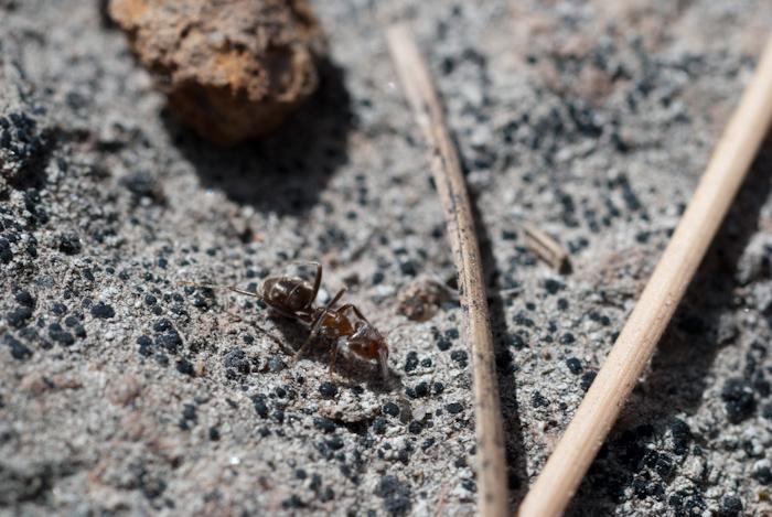 ant with pine needle