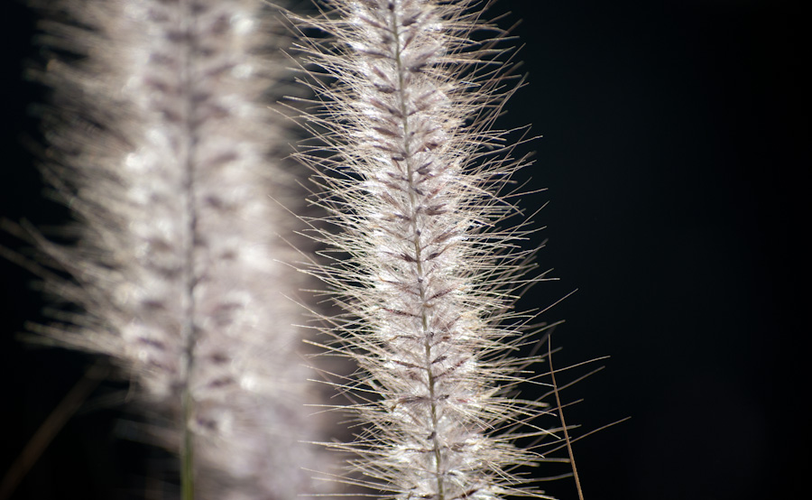 backlit grass seedheads