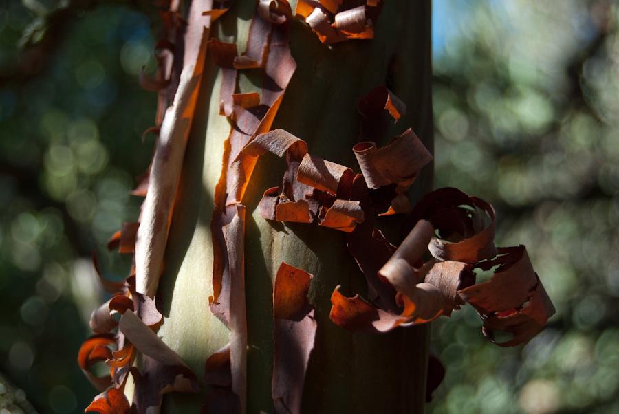 red peeling bark on vertical branch