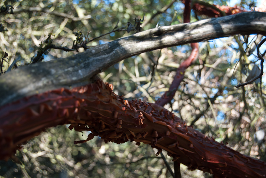 red peeling bark on forked branch
