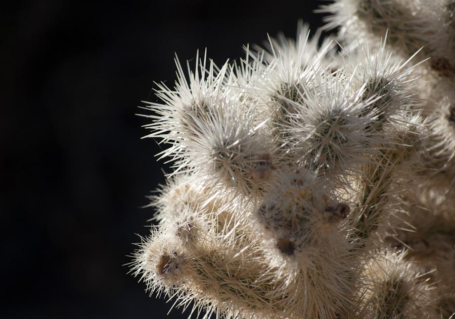 teddy-bear cholla needles