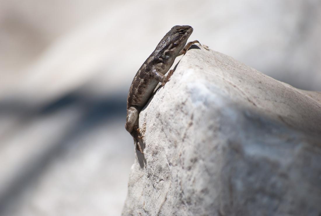 lizard on rock point