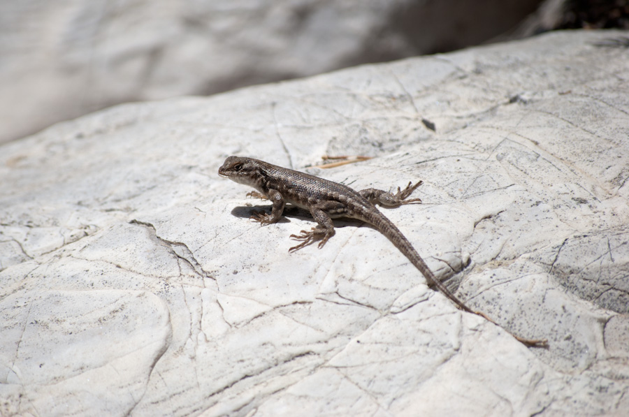lizard on flat rock
