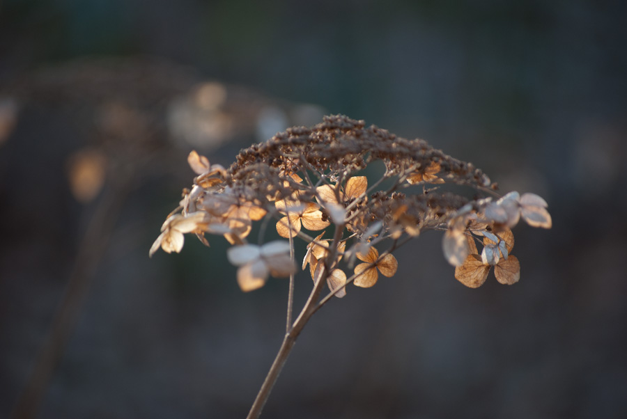 dried flower head