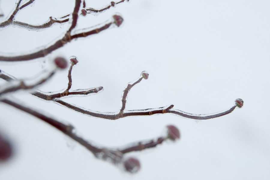 dogwood buds and twigs in ice