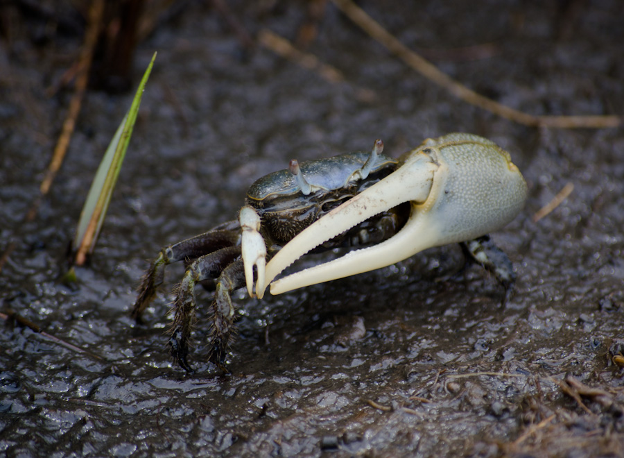crab with light claws on mud