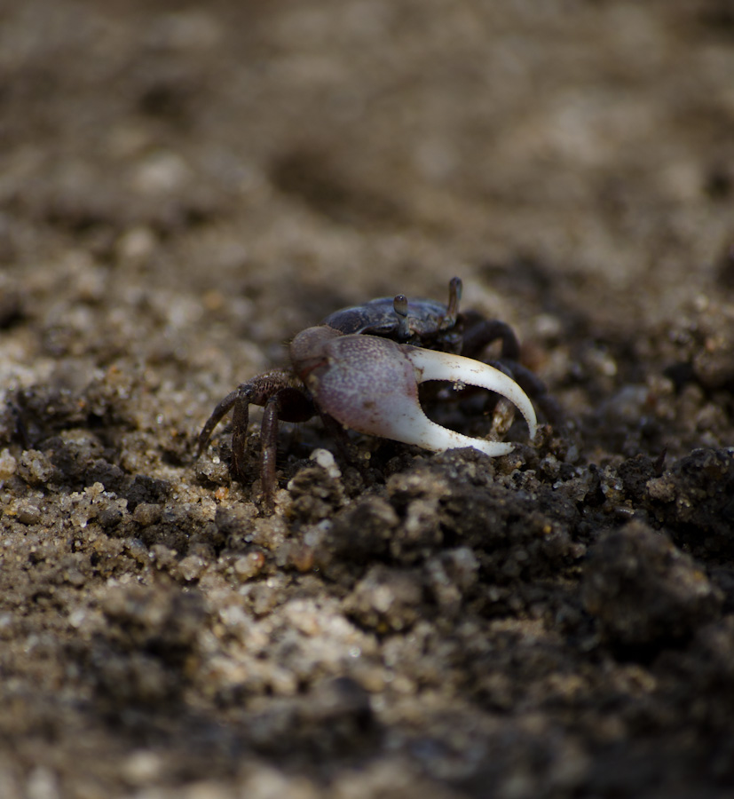 crab with light claw on dry soil