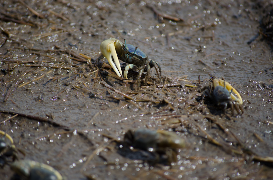 crab on mud with stems and nearby crabs