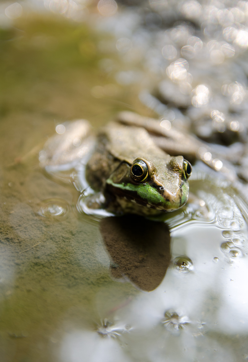 frog in puddle