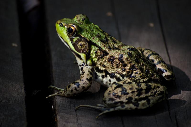frog on boardwalk