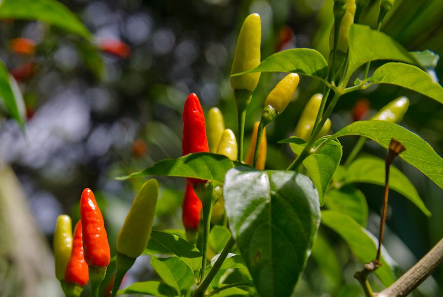 hawaiian hot peppers