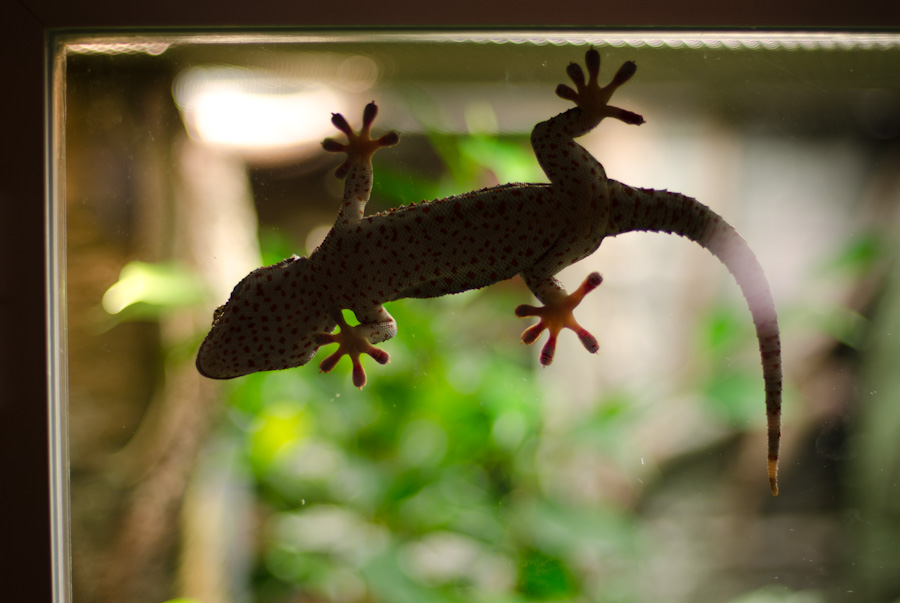 gecko with bumps