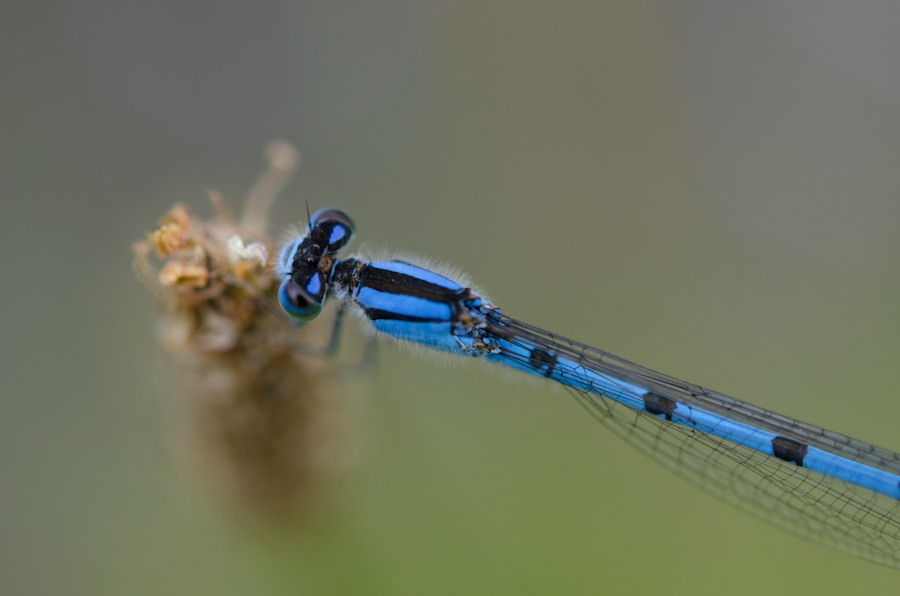 bluetail damselfly above