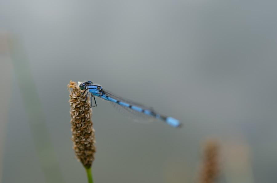 bluetail damselfly on seed head