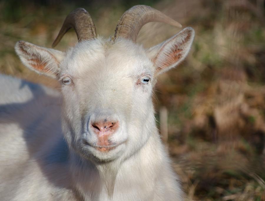 white goat face