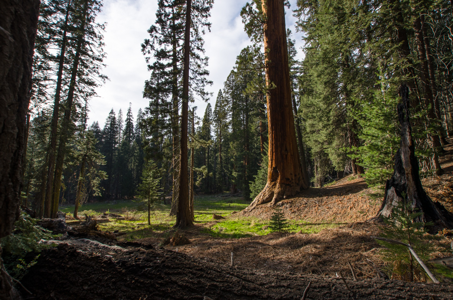 sequoia at meadow