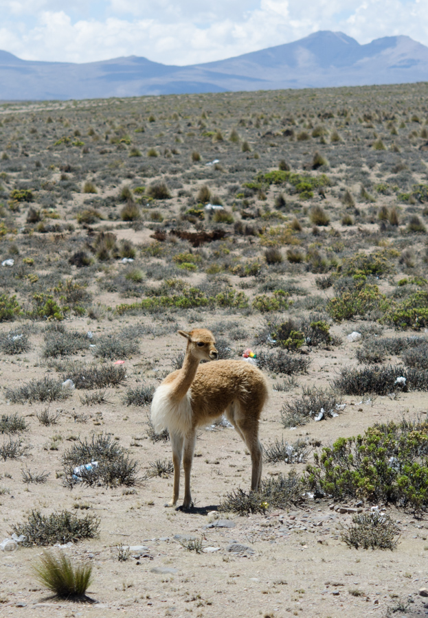 vicuna looking over shoulder