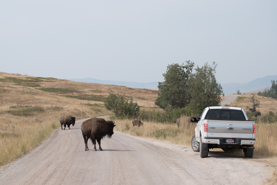 Bison and trucks